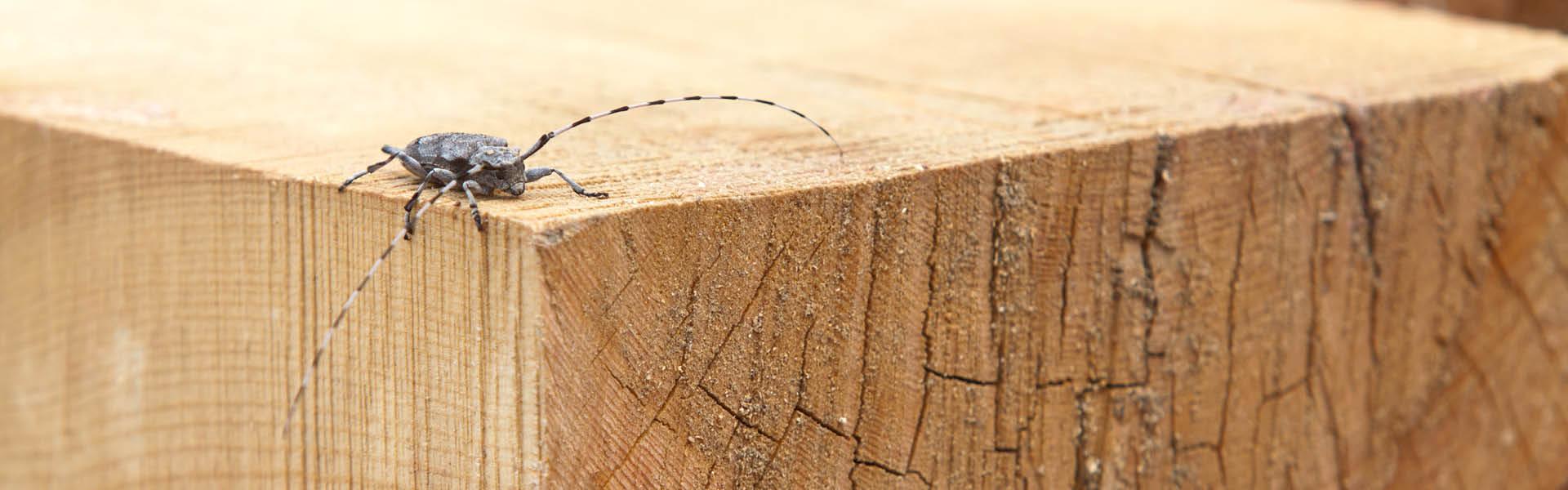 Käfer krabbelt auf Holzballken