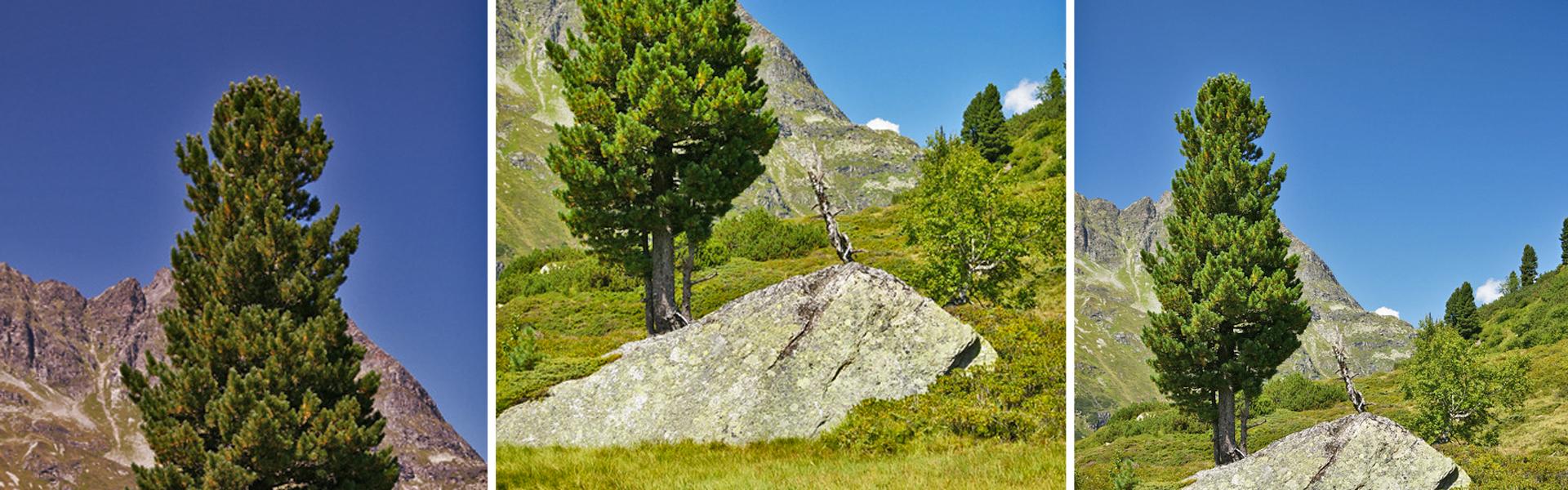 Ein Massivholzhaus kann auch aus Zirbenholz sein. Hier sieht man eine Zirbe im Gebirge.